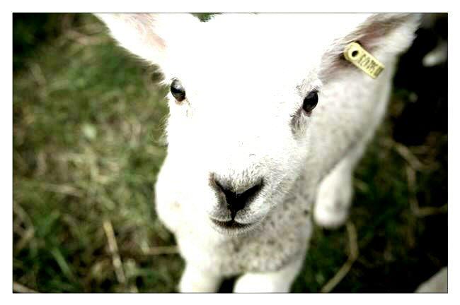 lamb-20150422-132233_1